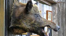 Taxidermist Shows off Mounted Wild Boar Head