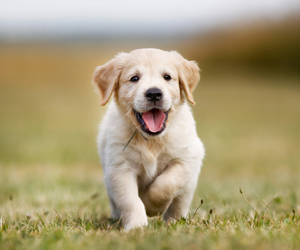 Happy golden retriever puppy runs in the grass